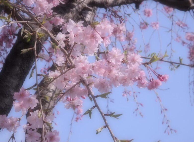 桜の花が咲いた