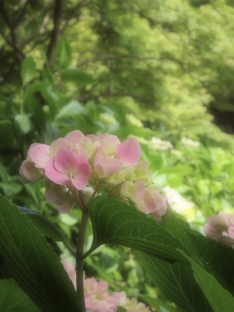 紫陽花の花が咲いている