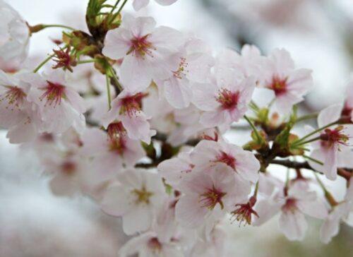 桜 画像2
