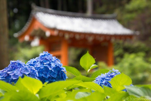 三室戸寺の三門とあじさいを撮影した写真