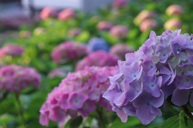三室戸寺のあじさい園 紫