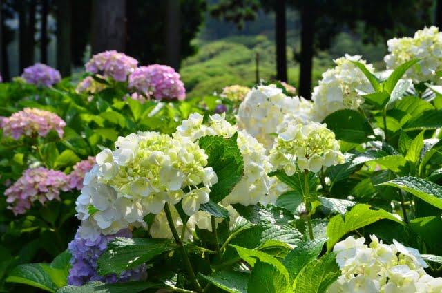 三室戸寺あじさい白い花