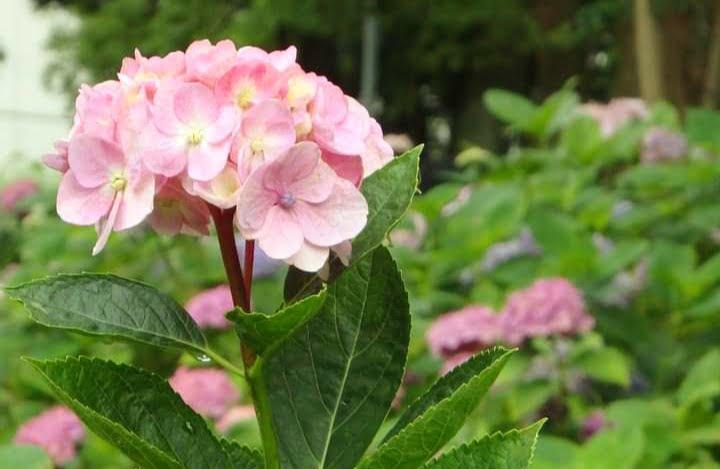 藤森神社 紫陽花苑ピンク色