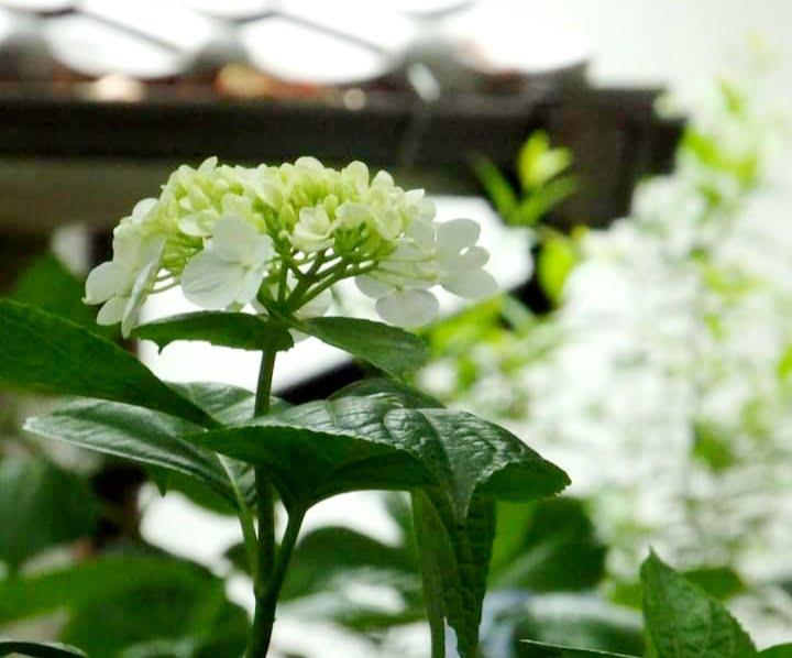 藤森神社 紫陽花苑凛として白い