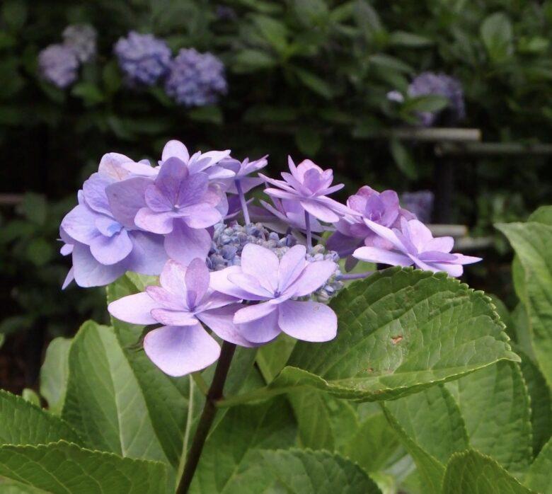 藤森神社 パープル系の紫陽花