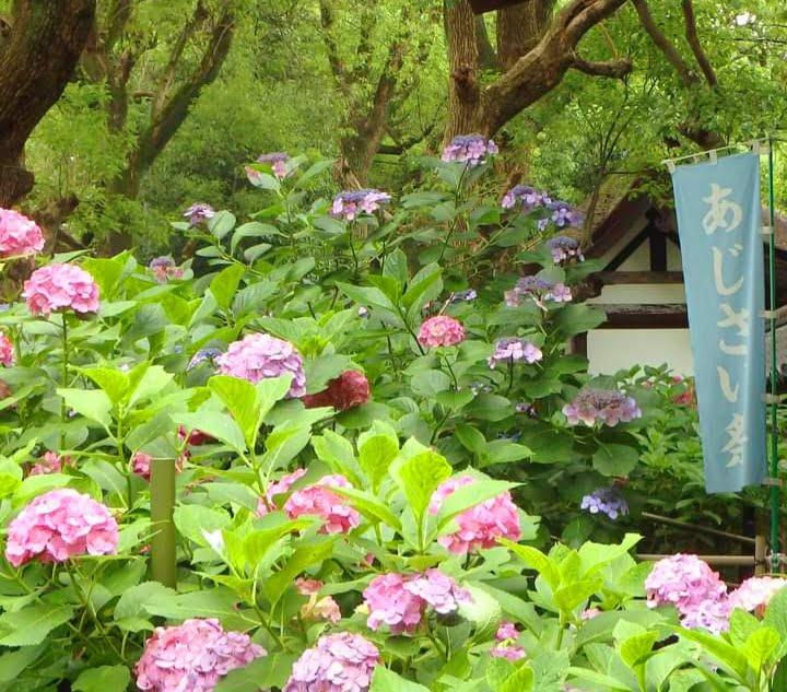 藤森神社の紫陽花苑 のぼり