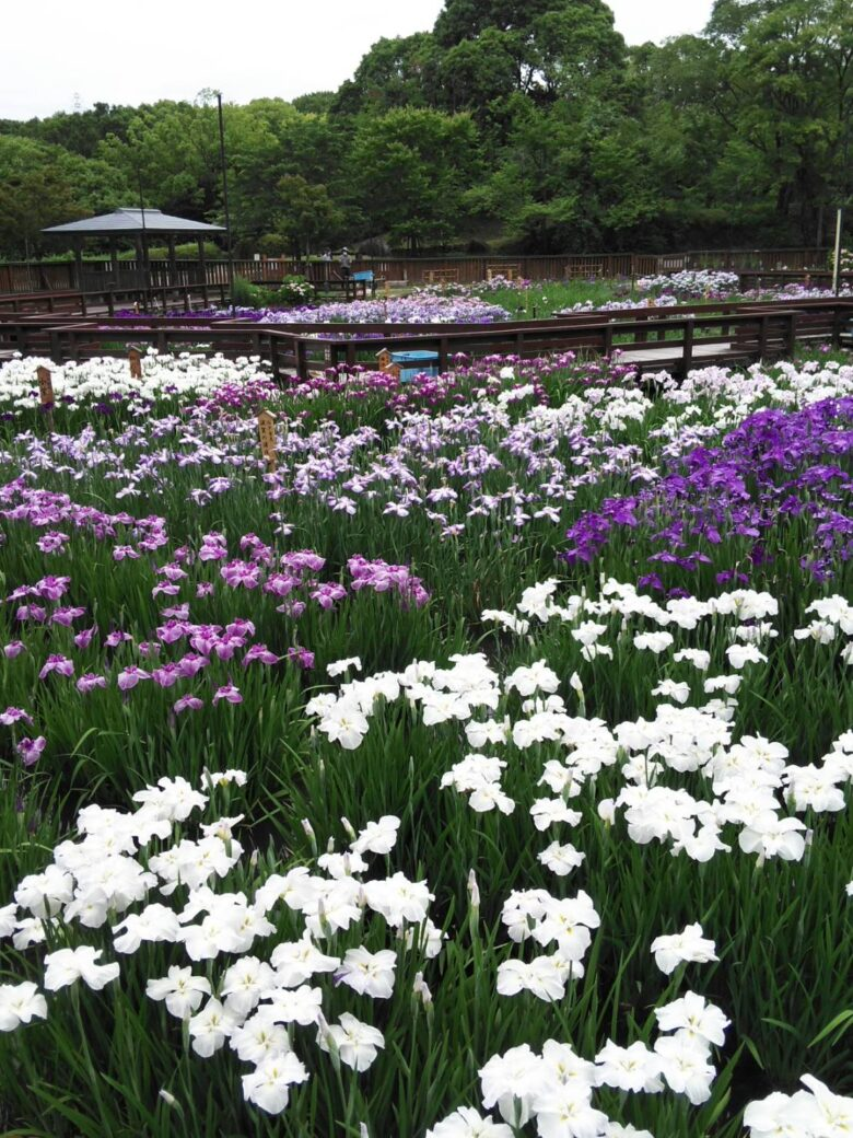 山田池公園菖蒲2021ー4