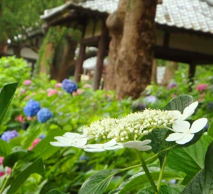 藤森神社 紫陽花苑白いあじさい