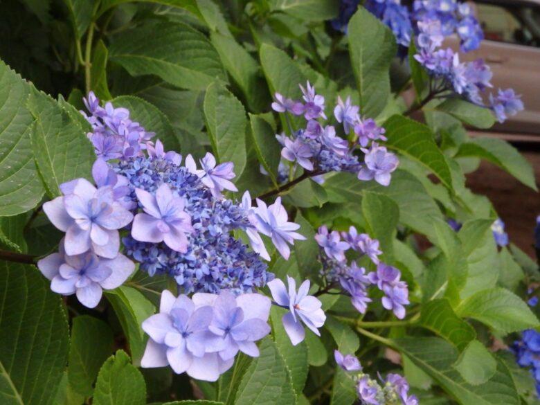 藤森神社 額紫陽花
