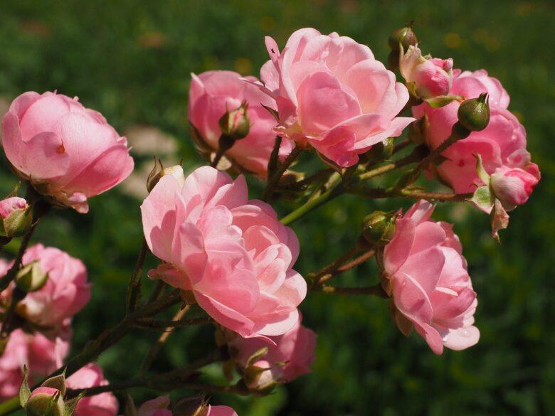 ピンク色の斜めに咲くバラ
