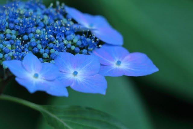 紫陽花の見ごろの時期は?