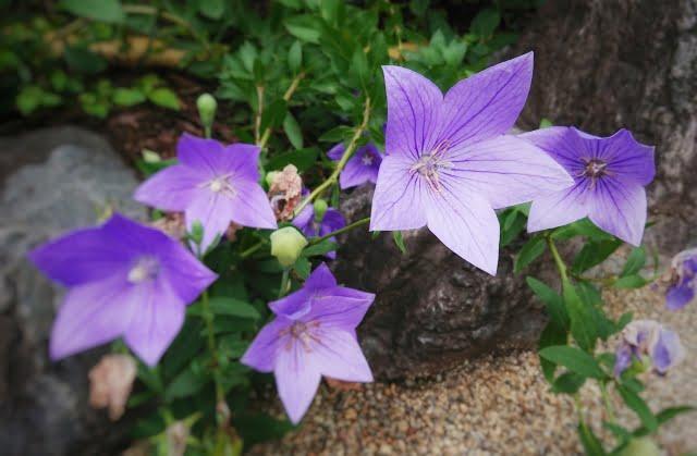 晴明神社 桔梗の花