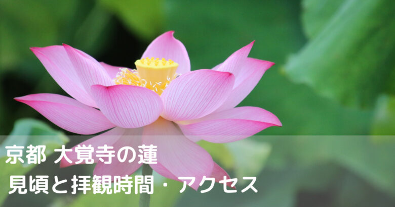 京都 大覚寺の蓮