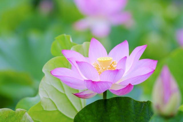 大覚寺の大沢の池に咲く蓮